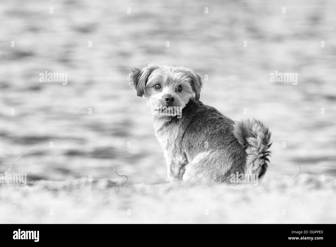 Norfolk Terrier, sitting by the water, Berlin Stock Photo