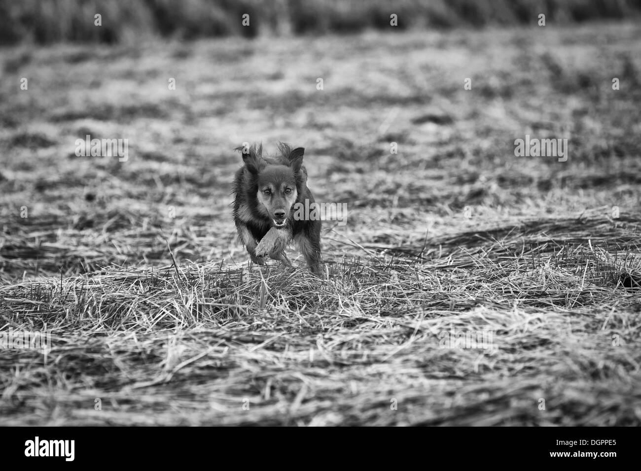 A medium-sized female mongrel running across a harvested field, Brandenburg - Stock Image
