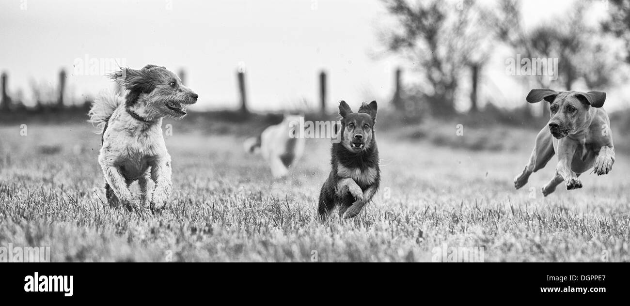 Three different sized dogs running across a harvested field, Brandenburg - Stock Image
