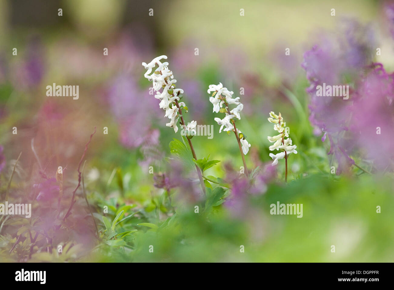 Bulbous Corydalis (Corydalis cava), early bloomer - Stock Image