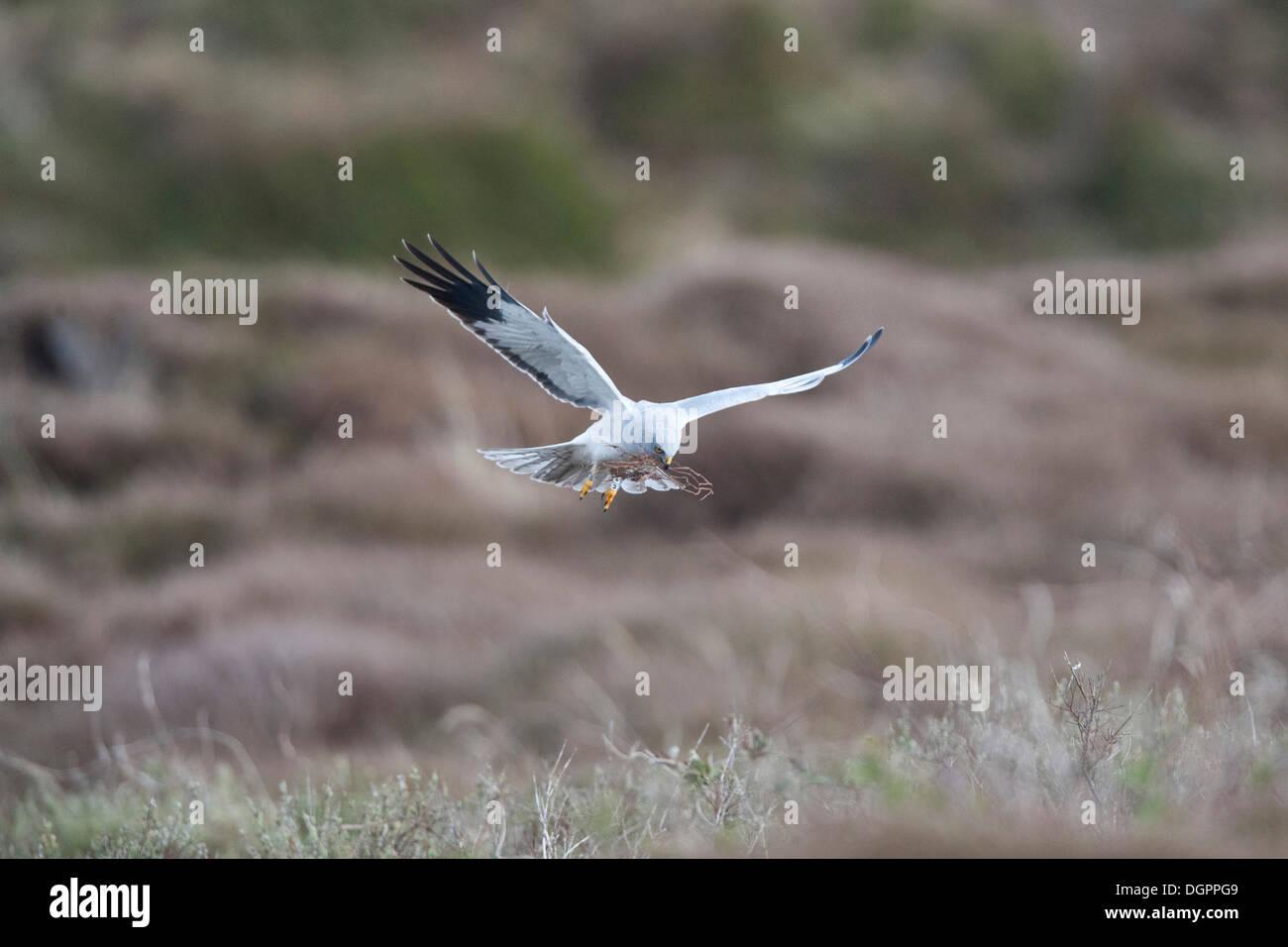 Hen harrier in flight (Circus cyaneus), male, Texel, Netherlands, Europe Stock Photo