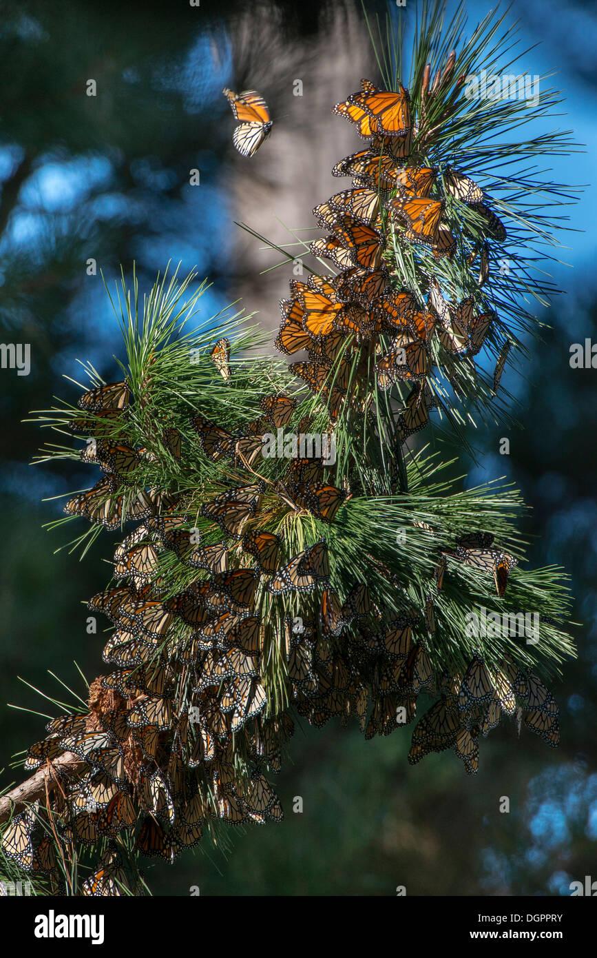 Monarch butterflies (Danaus plexippus), wintering grounds, Monarch Grove Sanctuary, Monterey, Pacific Grove, California - Stock Image