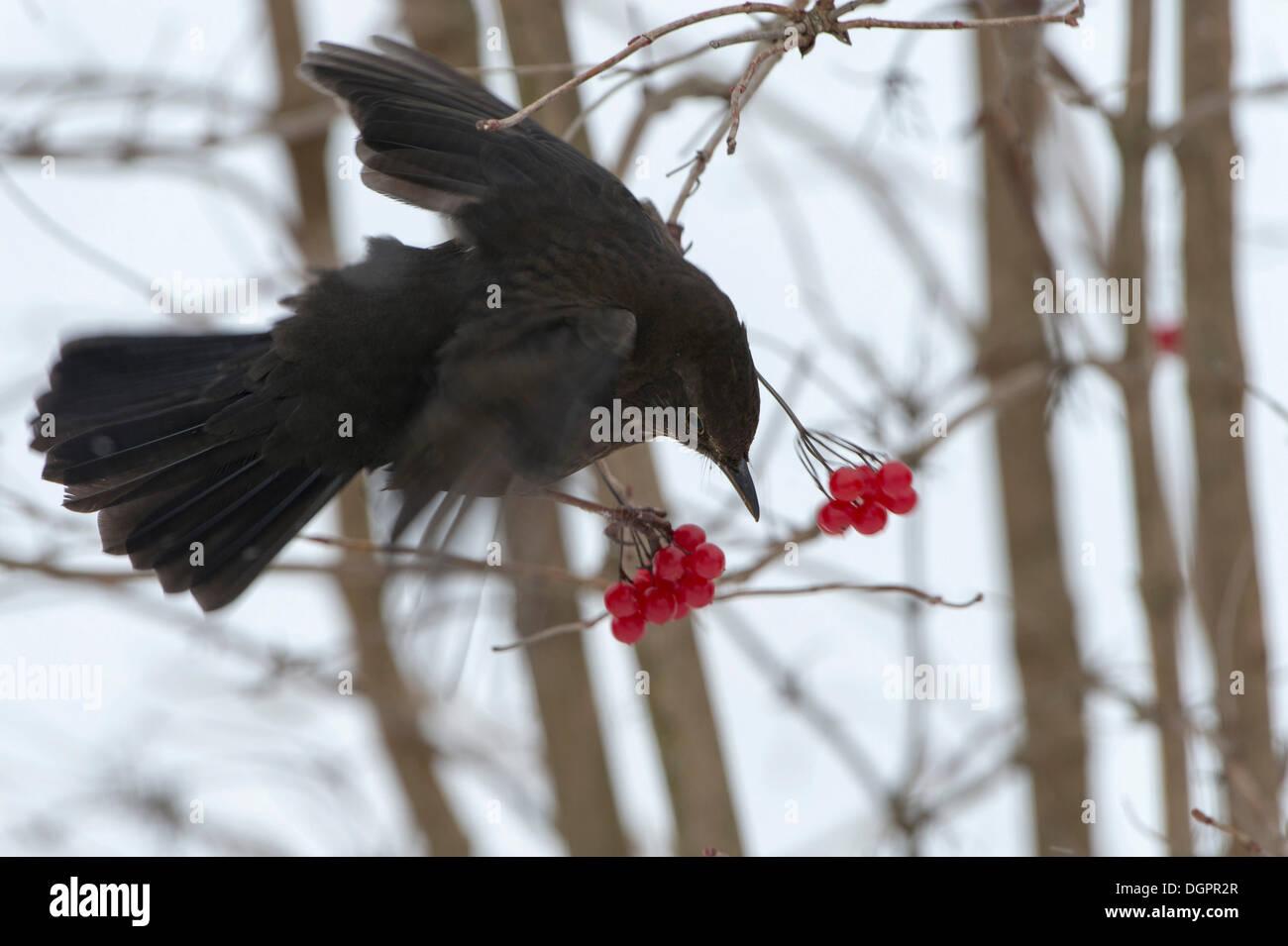 Blackbird (Turdus merula) in search of food in winter, Guxhagen, Hesse, Germany - Stock Image