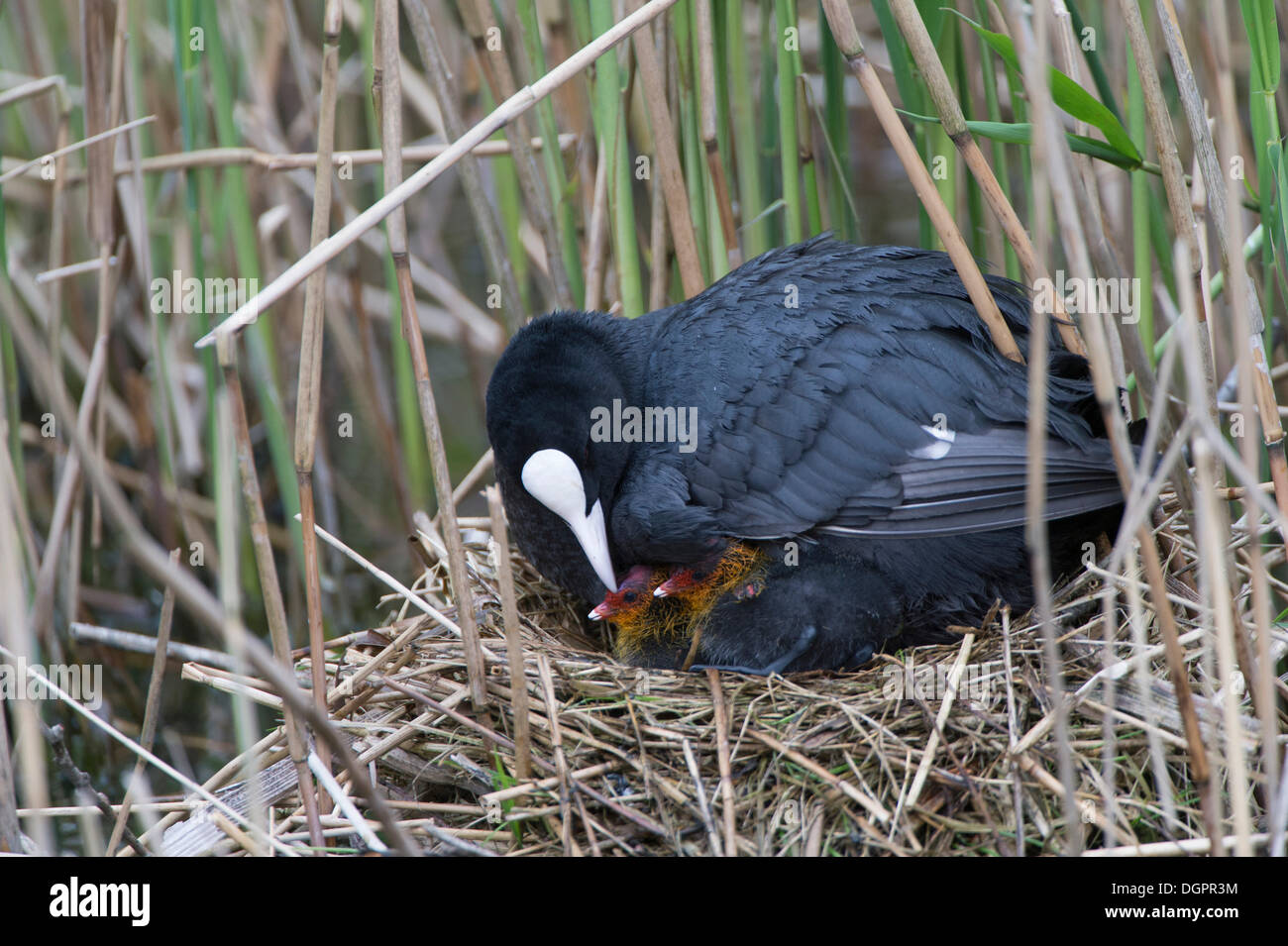 Coot(Fulica atra), adult bird with nestlings, captive, West Coast Park, Sankt Peter-Ording, Eiderstedt, North Frisia - Stock Image
