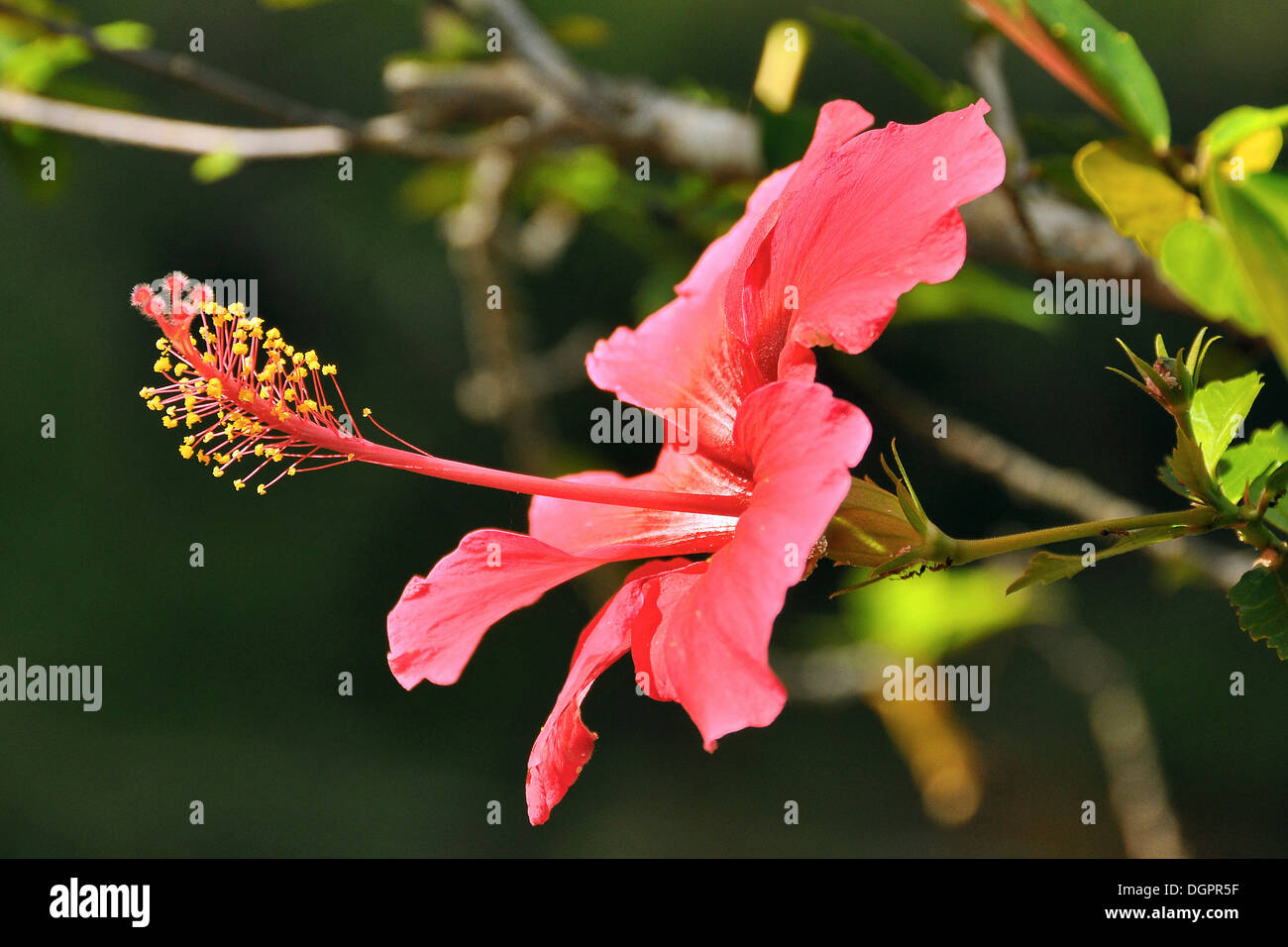 Pink hibiscus (Hibiscus clayi), Chapada Diamantina, Bahia, Brazil, South America Stock Photo