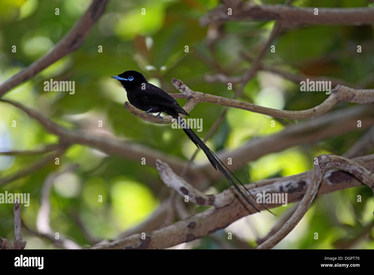 Seychelles black paradise flycatcher on an island in The Seychelles Stock Photo