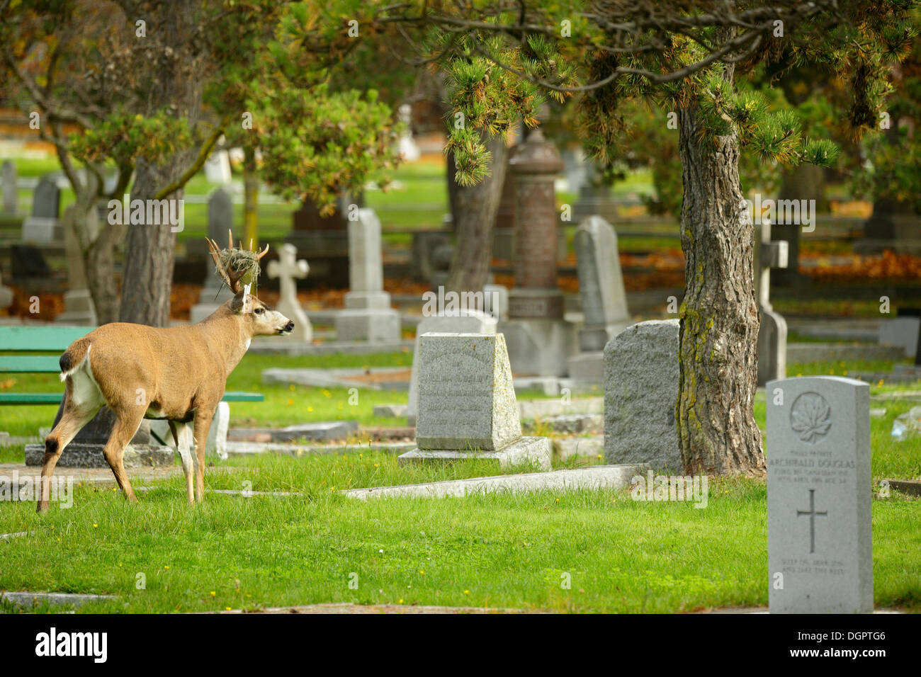 Blacktail Mule deer buck strolling through Ross Bay cemetery in autumn-Victoria, British Columbia, Canada. - Stock Image