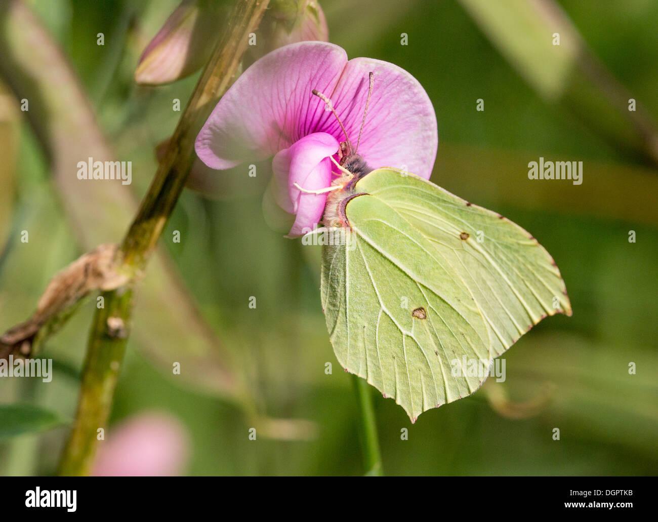 Male brimstone nectaring on sweet pea - Stock Image