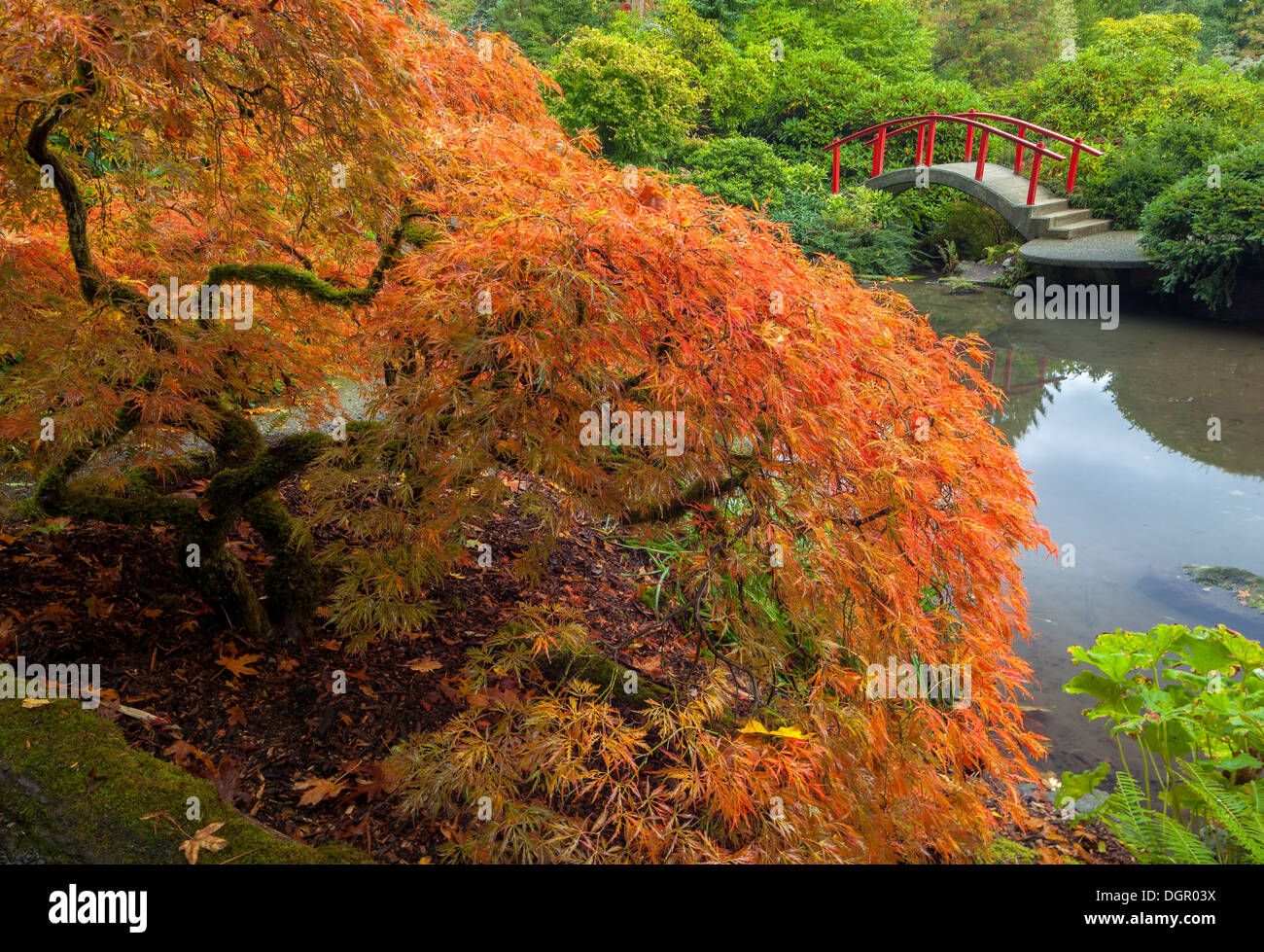 Kubota Garden, Seattle, WA: Lace-leafed Japanese maple in fall color ...