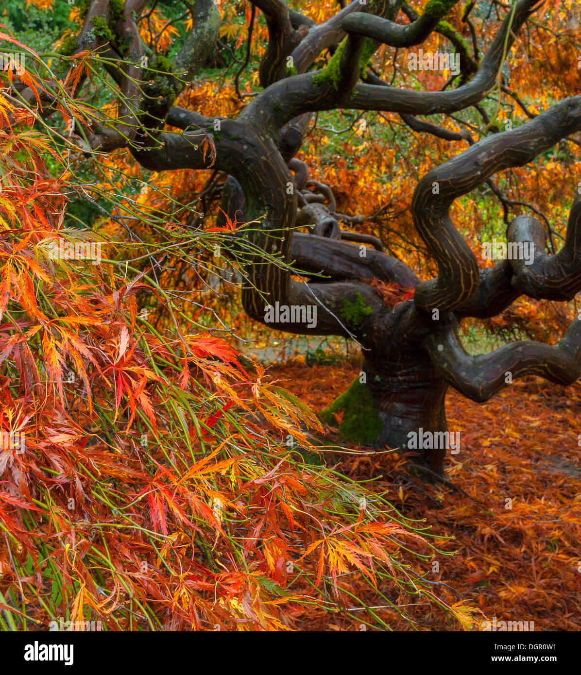 Kubota Garden, Seattle, WA: Twisted trunk and branches of a lace-leafed Japanese maple in fall color - Stock Image