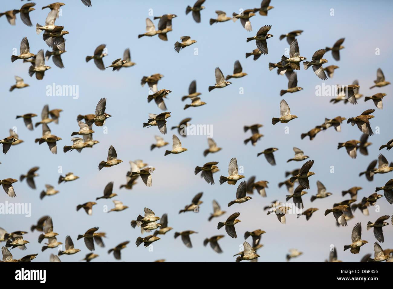 Spanish Sparrow - Passer hispaniolensis Stock Photo