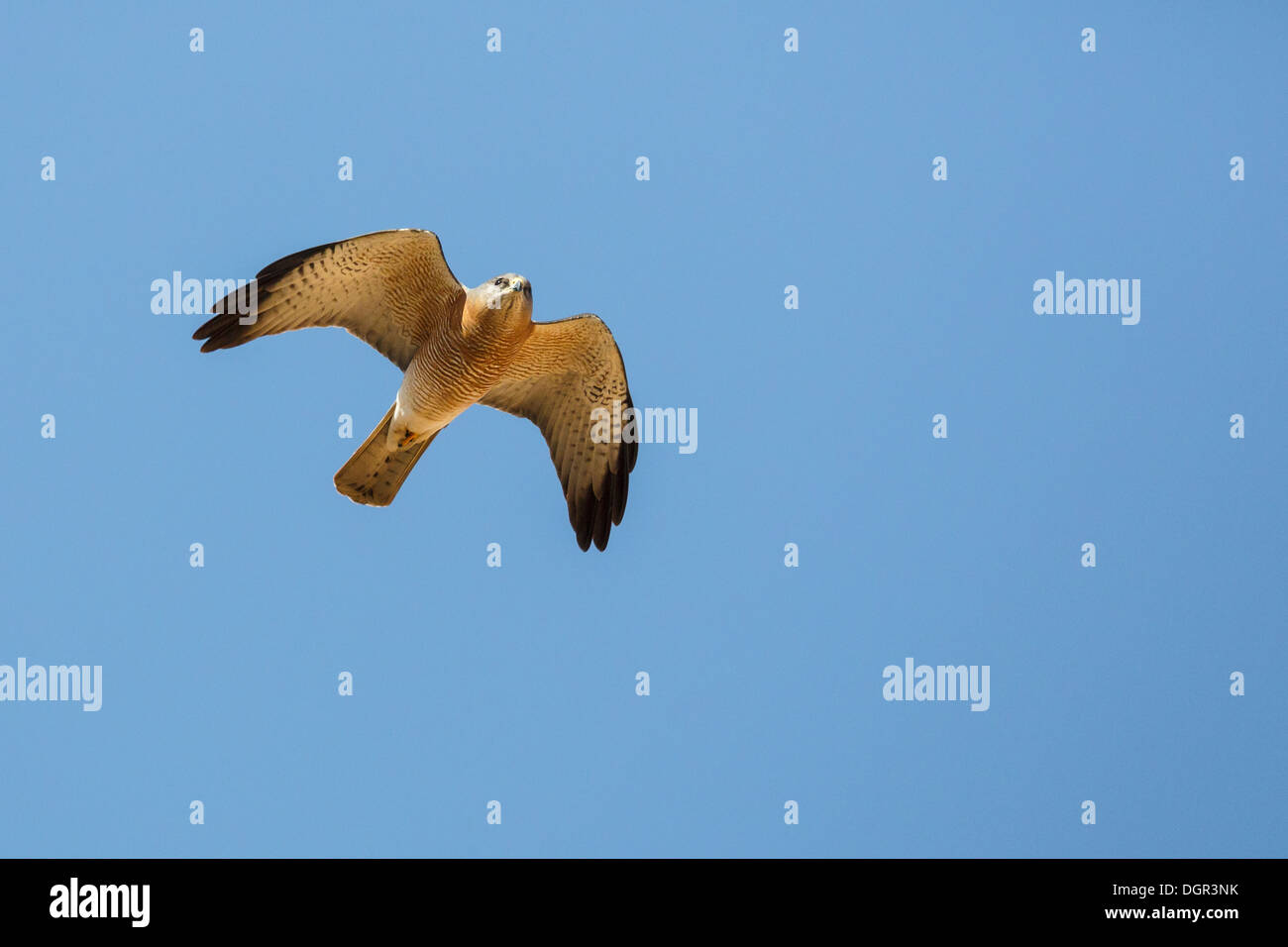 Levant Sparrowhawk - Accipiter brevipes - Male - Stock Image