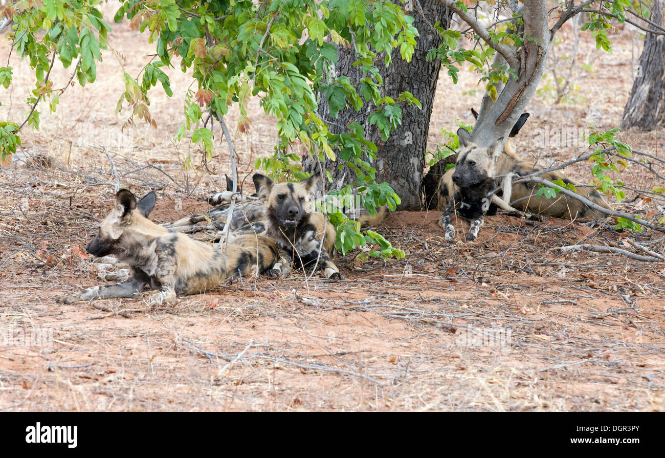 African Wild Dogs, ( Lycaon pictus ) an endangered species, Chobe National park, Botswana, Africa - Stock Image