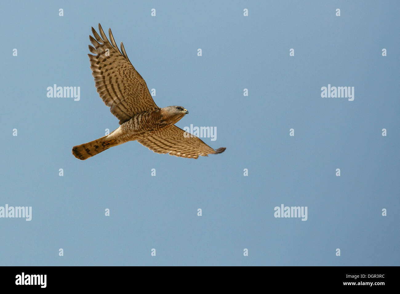 Levant Sparrowhawk - Accipiter brevipes - female - Stock Image
