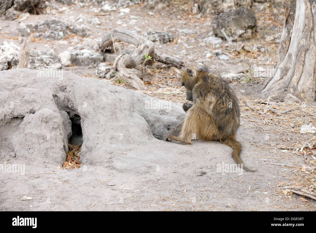 A baboon (  Papio Ursinus ) feeding on termites from a termite mound, Chobe National park, Botswana, Africa - Stock Image