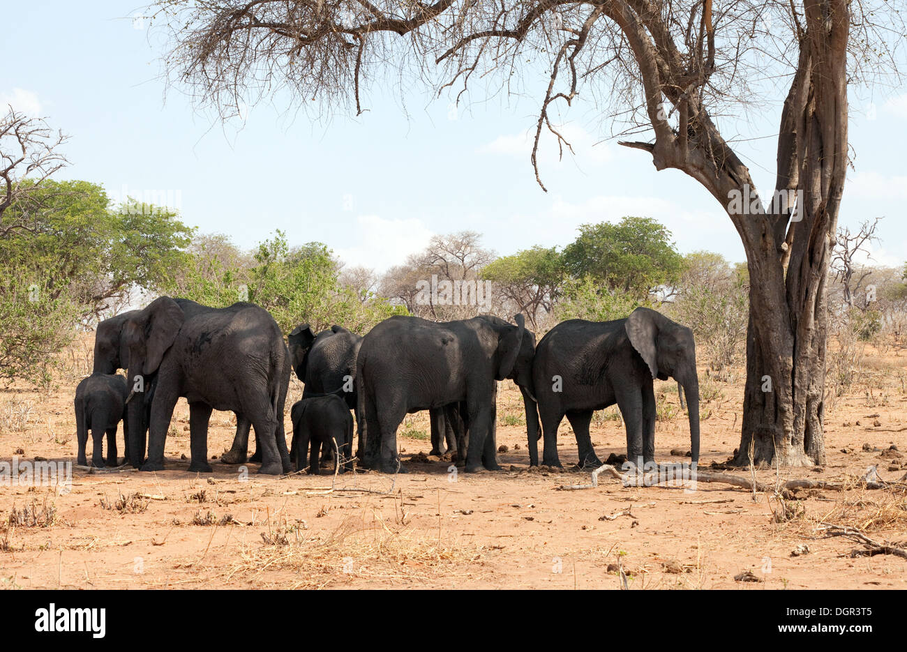 A herd of elephants sheltering from the midday heat in the shade of a tree, Chobe National Park, Botswana africa - Stock Image