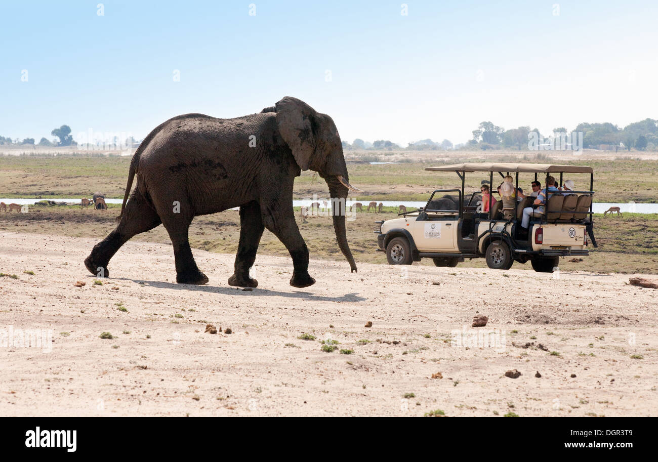 An adult male african elephant approaching tourists on a jeep safari, Chobe National Park, Botswana, Africa - Stock Image