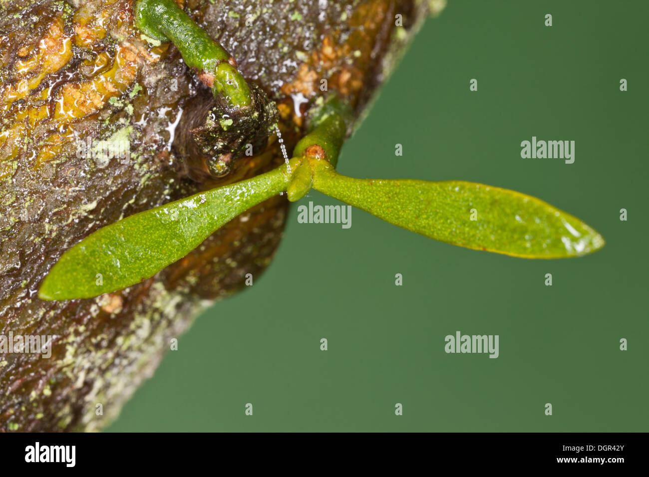 Very young seedling of Mistletoe, Viscum album, with seed-leaves growing on apple bark. Dorset. - Stock Image