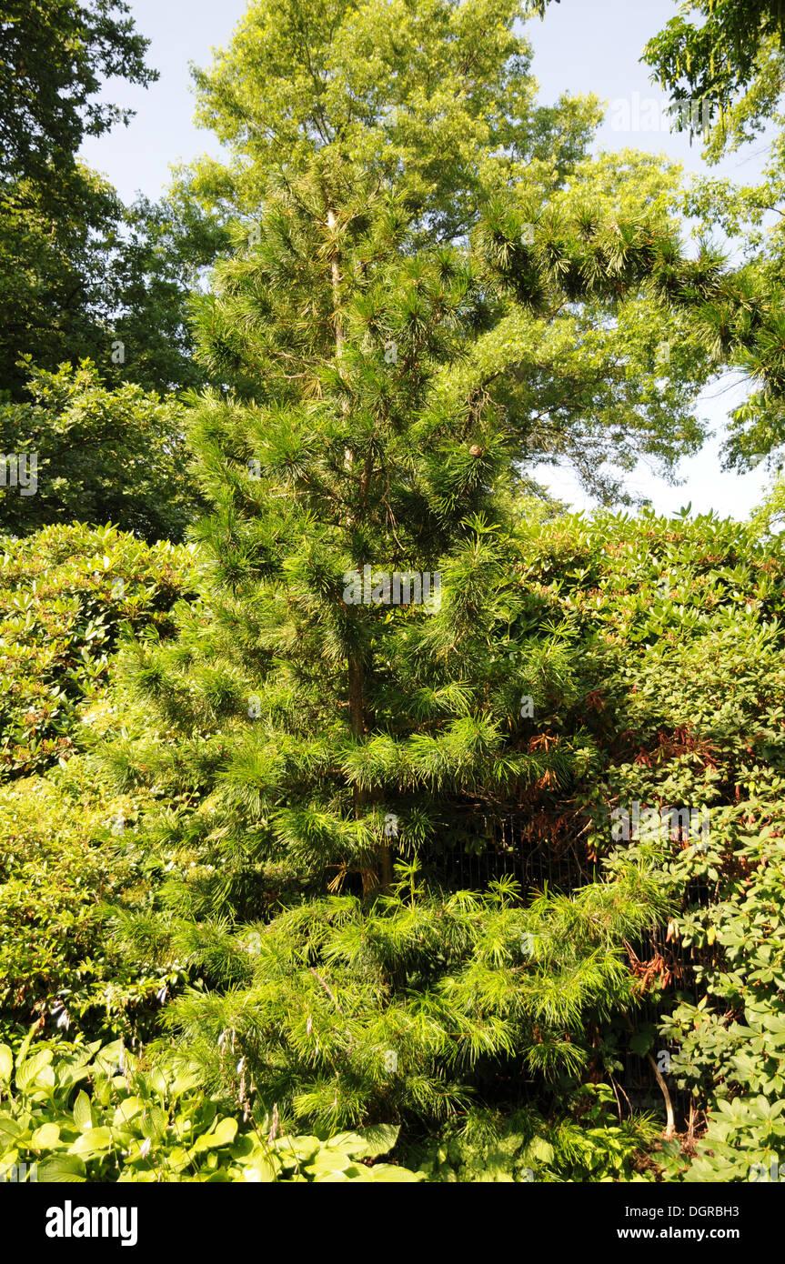 Japanese umbrella pine Stock Photo