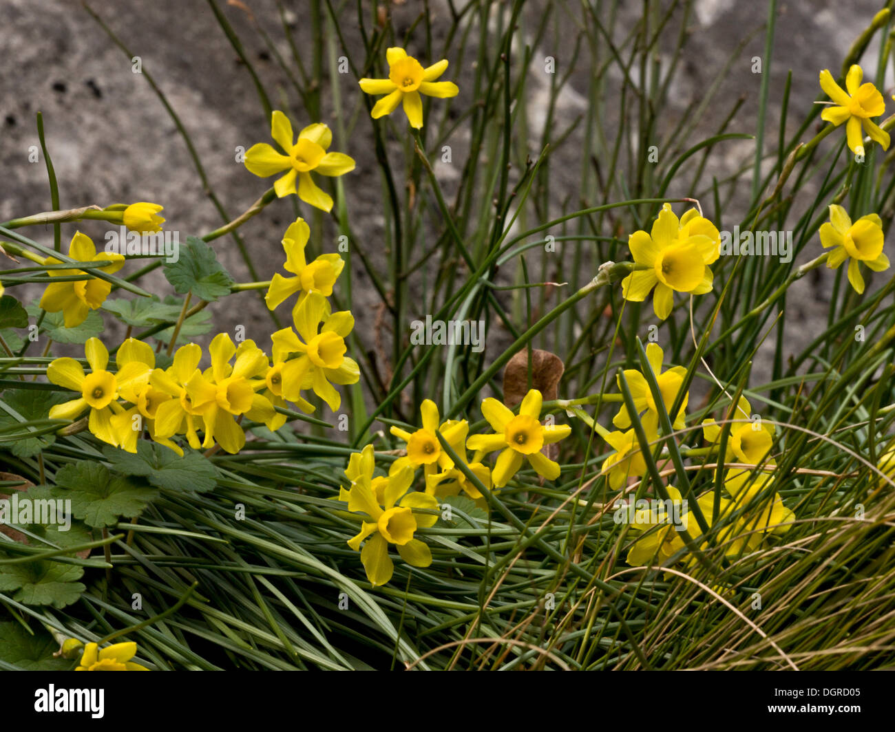 Rush-leaf Jonquils, Narcissus assoanus (formerly N. requienii) wild in the pyrenees, Spain Stock Photo