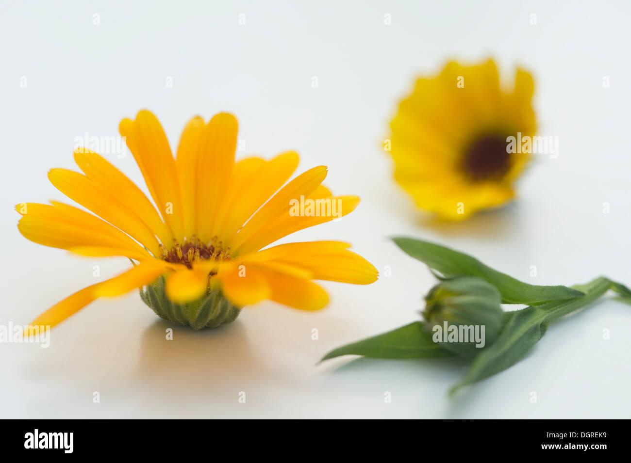 Pot Marigold (Calendula officinalis), medical plant, studio shot - Stock Image