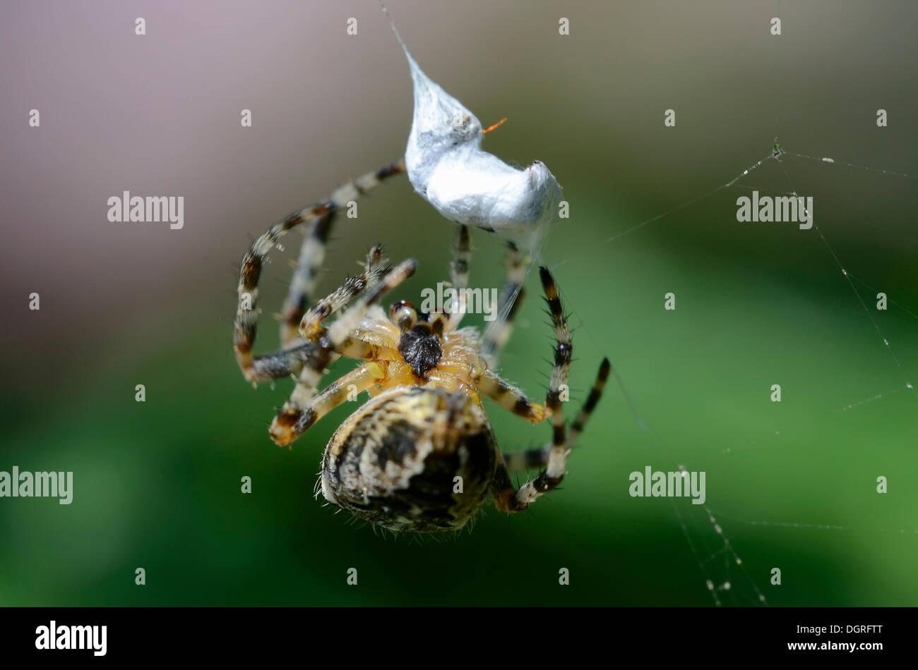 Garden Spider or Cross Orbweaver (Araneus diadematus) packing its prey, near Lassahn, Schaal Lake region - Stock Image