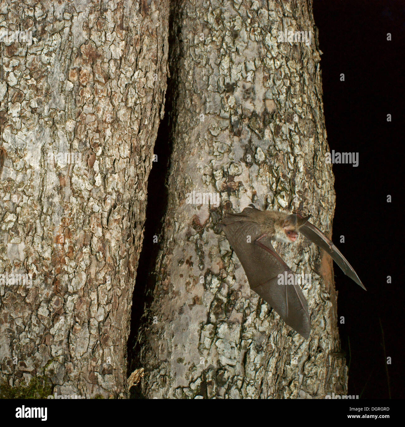 Bechstein's Bat (Myotis bechsteinii) flying out from their roost - Stock Image