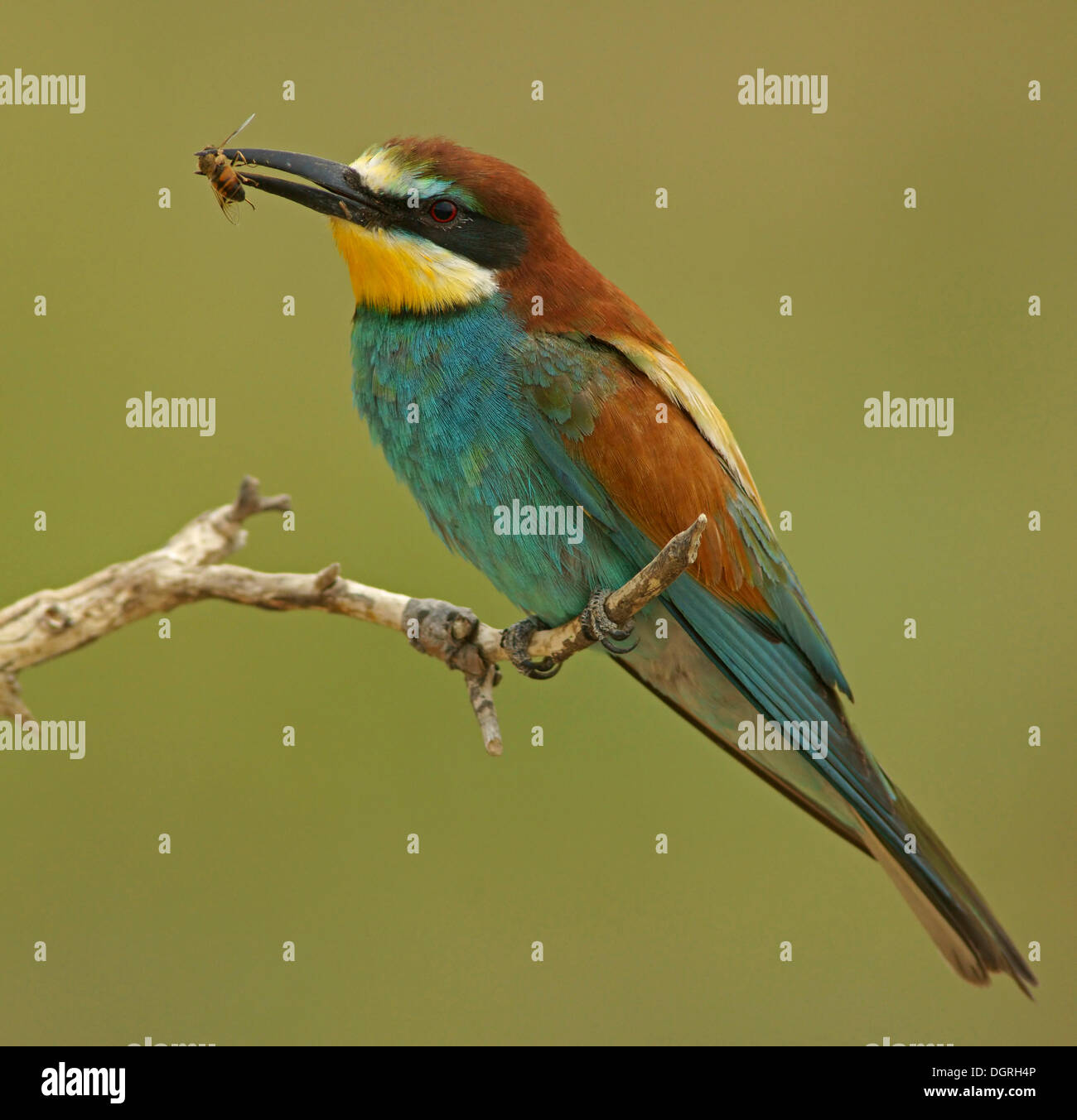 European Bee-eater (Merops apiaster), Bulgaria, Europe - Stock Image