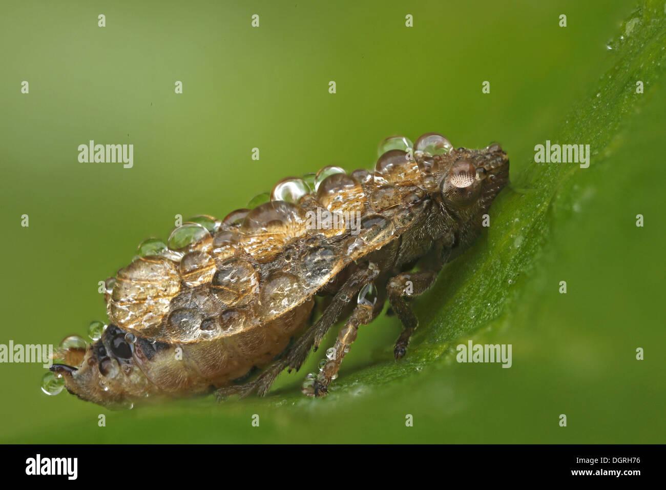 Erdzikade, Unterart (Aphrodinae spec), Kassel, Hesse Stock Photo