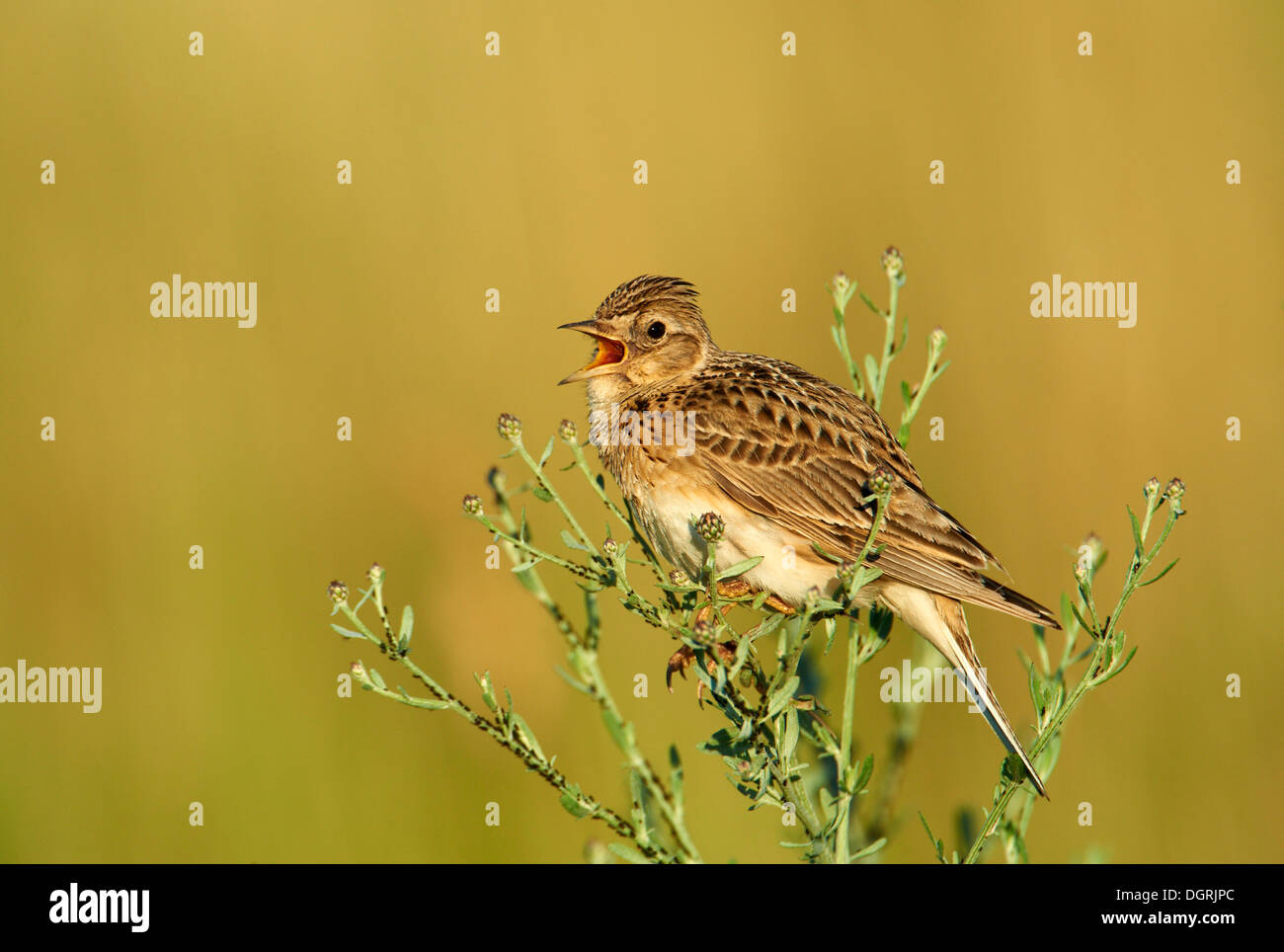Skylark (Alauda arvensis), Apetlon, Burgenland, Austria, Europe - Stock Image