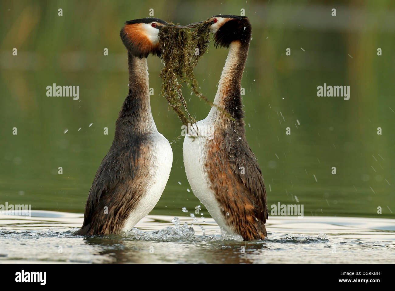Great Crested Grebe (Podiceps cristatus) pair in courtship, transfer of nesting material, Drosedower Bek - Stock Image
