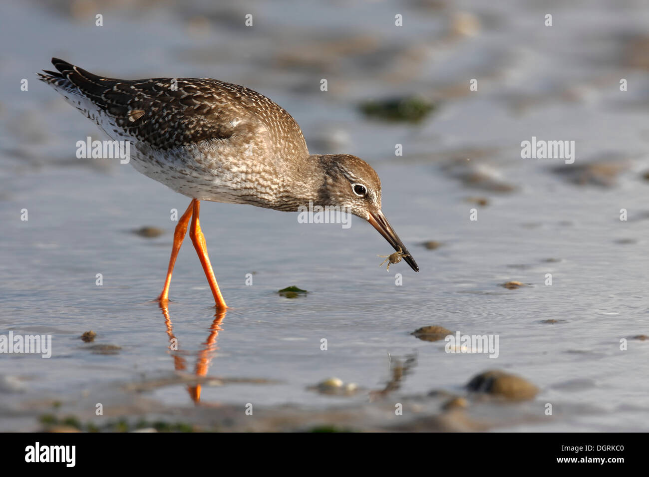 Common Redshank (Tringa totanus) searching for food in the mud, with Edible Crab or Brown Crab (Cancer pagurus), Minsener Oog, - Stock Image