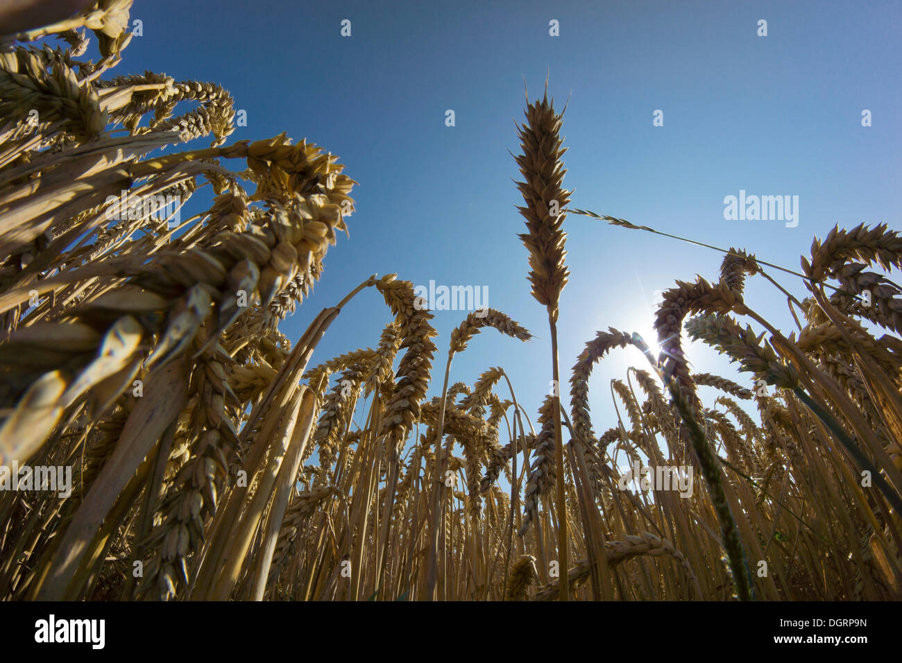 Wheat field, cornfield, worm's eye view, Ostheim, Nidderau, Hesse, Germany - Stock Image