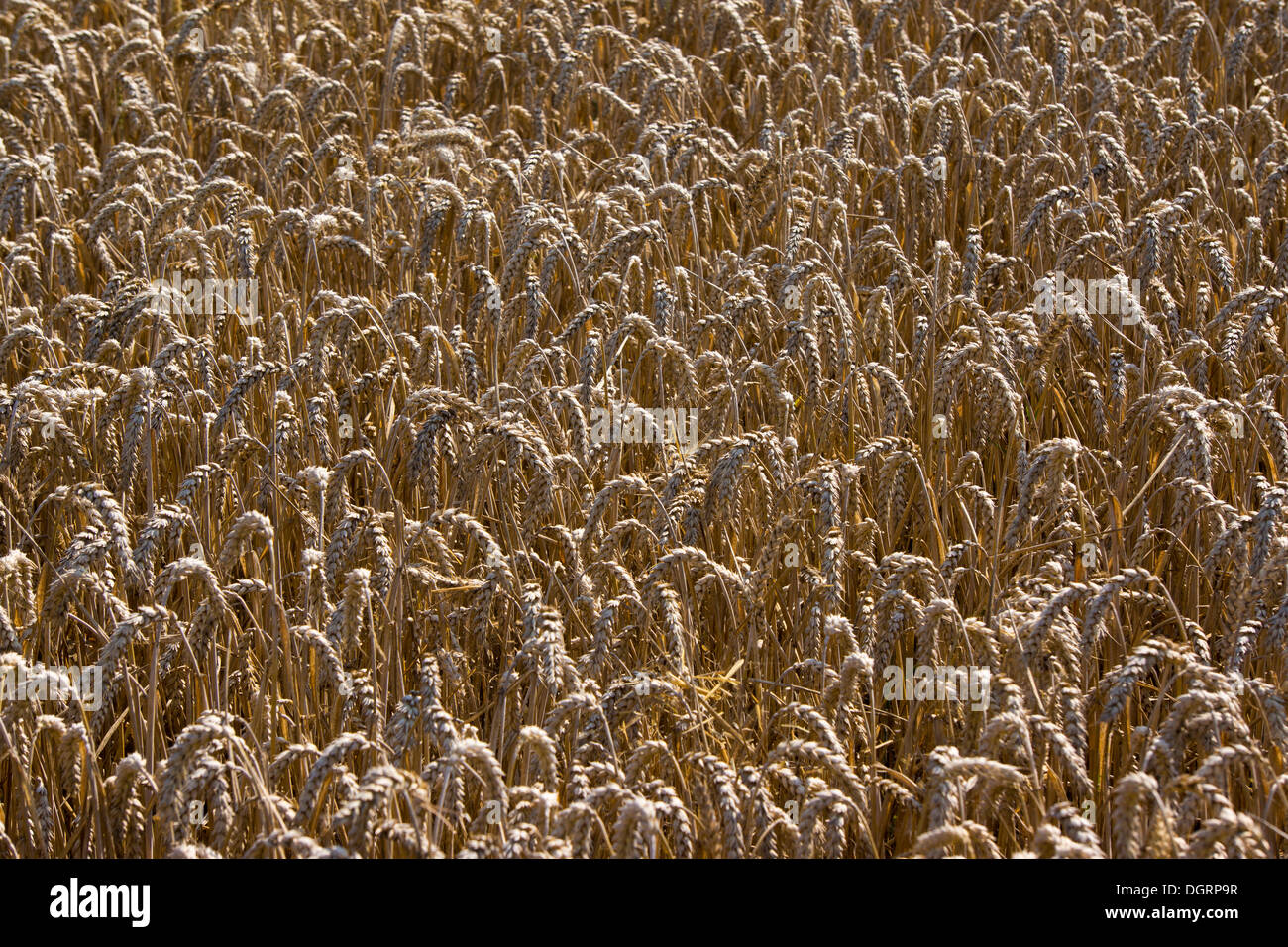 Wheat field, cornfield, Lengfeld, Otzberg, Hesse, Germany - Stock Image