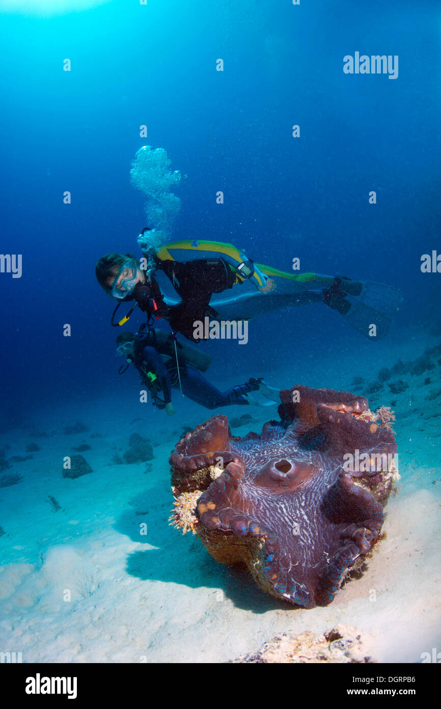 Scuba diver observing a Maxima Clam or Giant Clam (Tridacna maxima), Queensland, Queensland, Australia Stock Photo