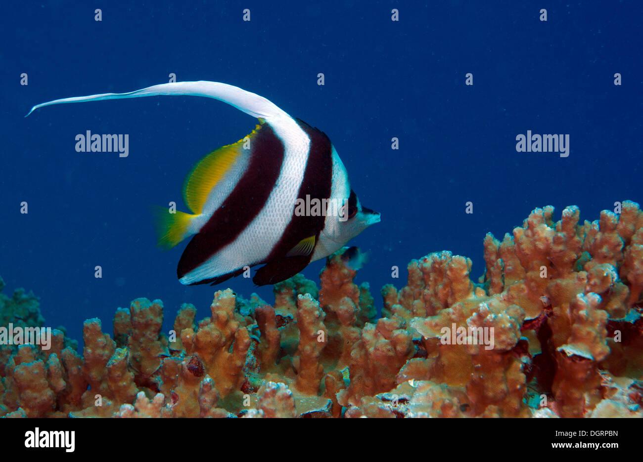 Pennant coralfish also longfin bannerfish (Heniochus acuminatus), Great Barrier Reef, Queensland, Australia - Stock Image