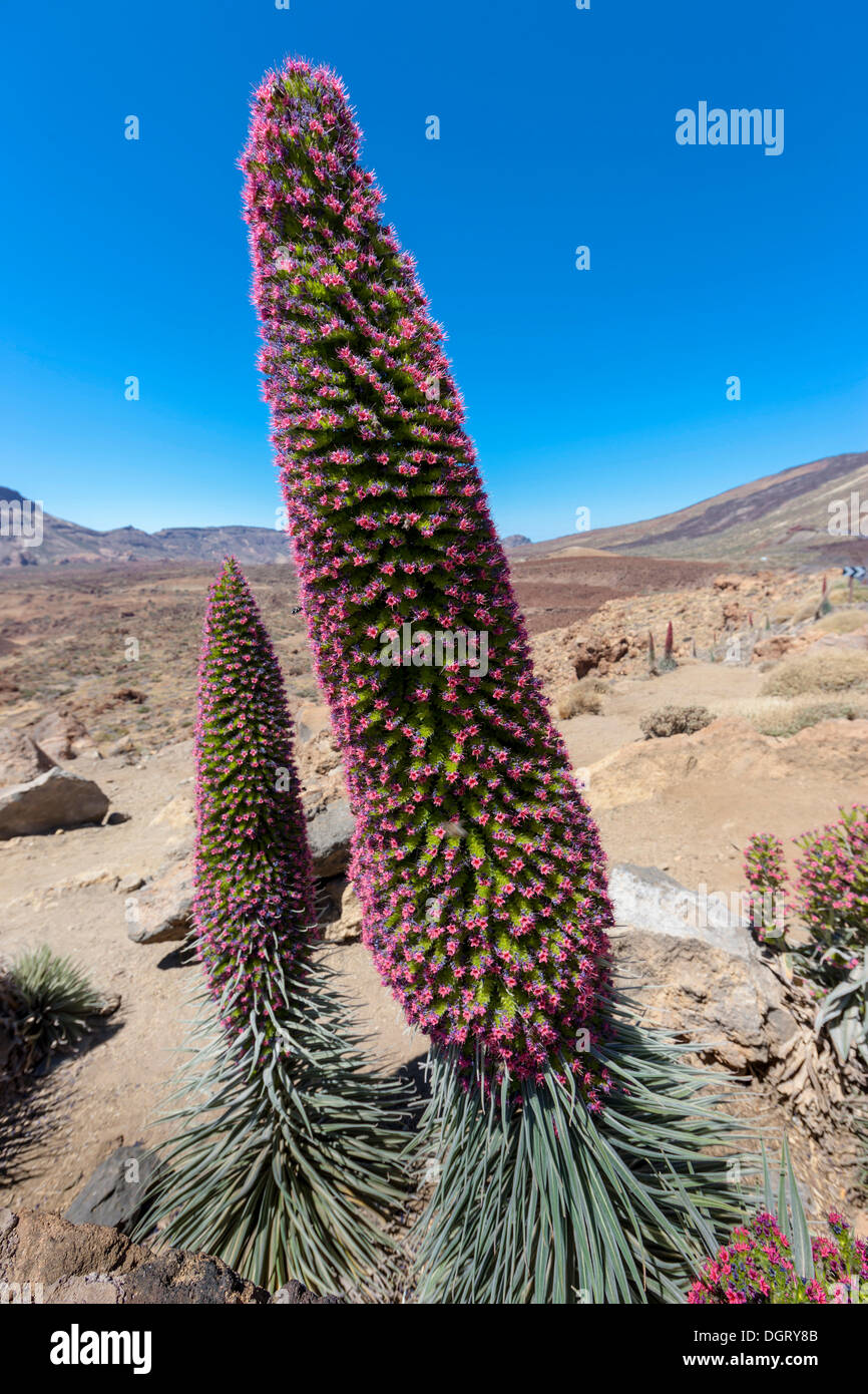 Red flowering Tower of Jewels or Red Bugloss (Echium wildpretii), UNESCO World Natural Heritage Site, Teide-National Park - Stock Image