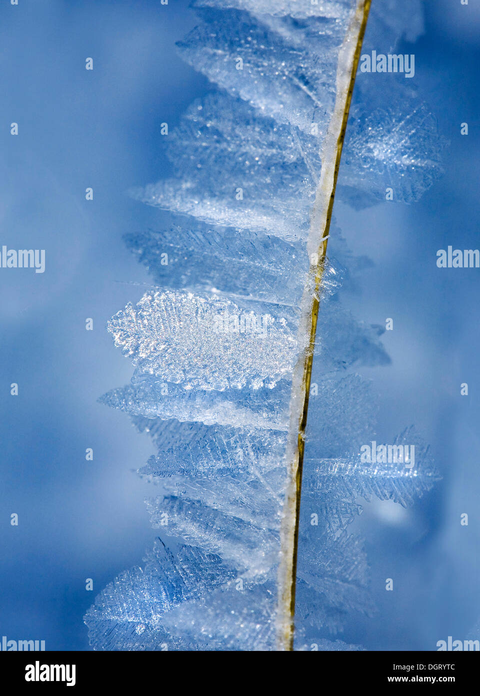 Hoar frost crystals on a blade of grass - Stock Image