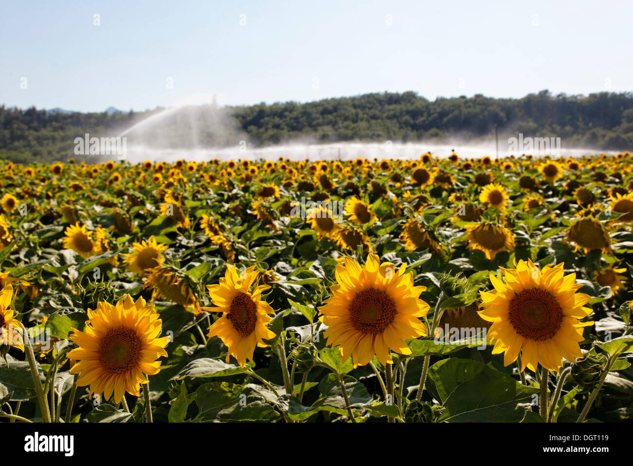 Sunflower field with irrigation, Sisteron, Provence region, Département Alpes-de-Haute-Provence, France, Europe - Stock Image
