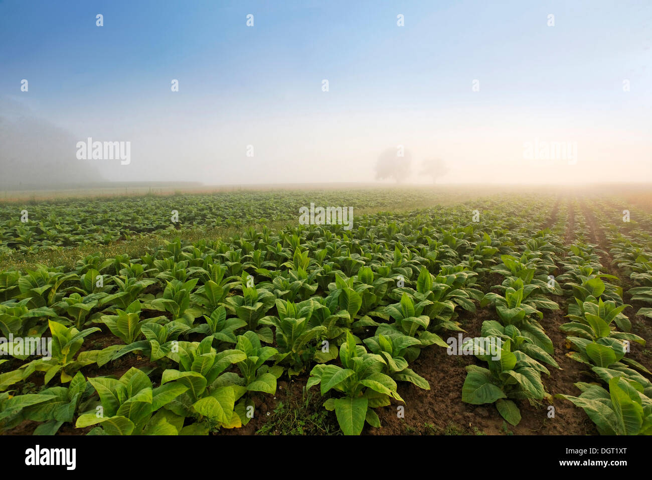 Tobacco field in the morning mist, on Dinkelberg mountain, near Minseln, Rheinfelden - Baden, Baden-Wuerttemberg - Stock Image