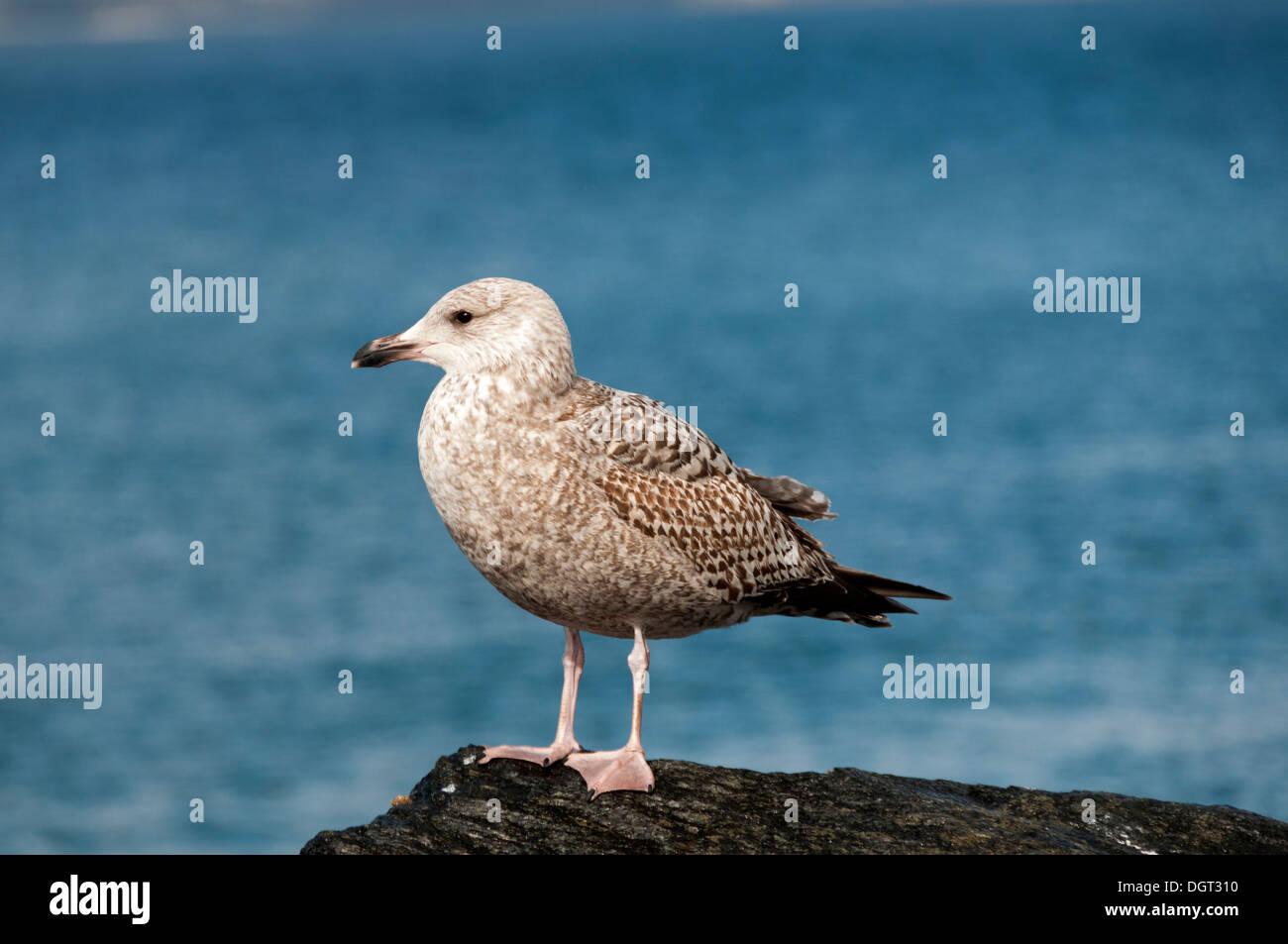 Immature (1st winter) Herring Gull (Larus argentatus), at Mallaig, Highland region, Scotland, UK. - Stock Image