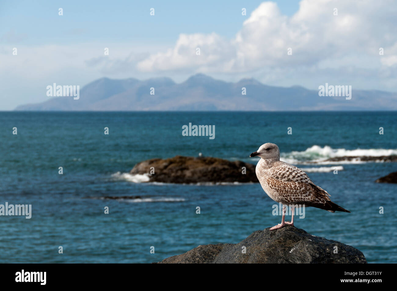 Immature Herring Gull (Larus argentatus), at Mallaig, Highland region, Scotland, UK.  The Isle of Rum behind. - Stock Image