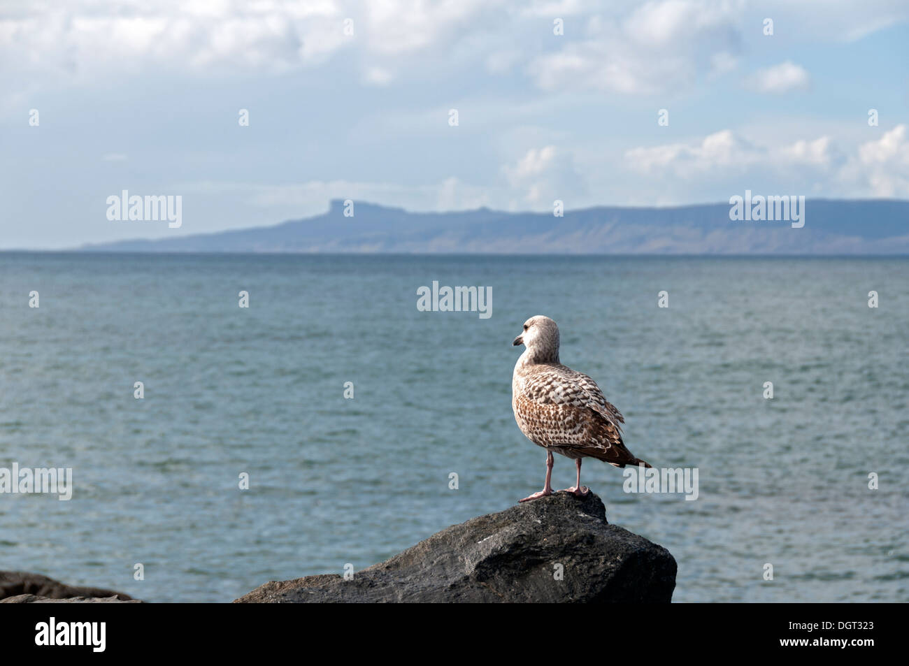Immature Herring Gull (Larus argentatus), at Mallaig, Highland region, Scotland, UK.  The Isle of Eigg behind. - Stock Image
