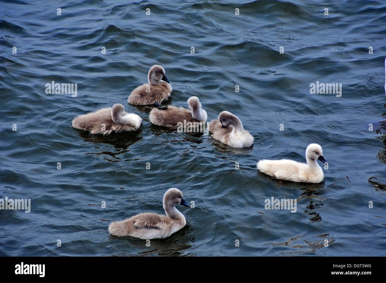 Mute swans (Cygnus olor), cygnets in the harbor, Seestrasse street, port, Stralsund, Mecklenburg-Western Pomerania Stock Photo