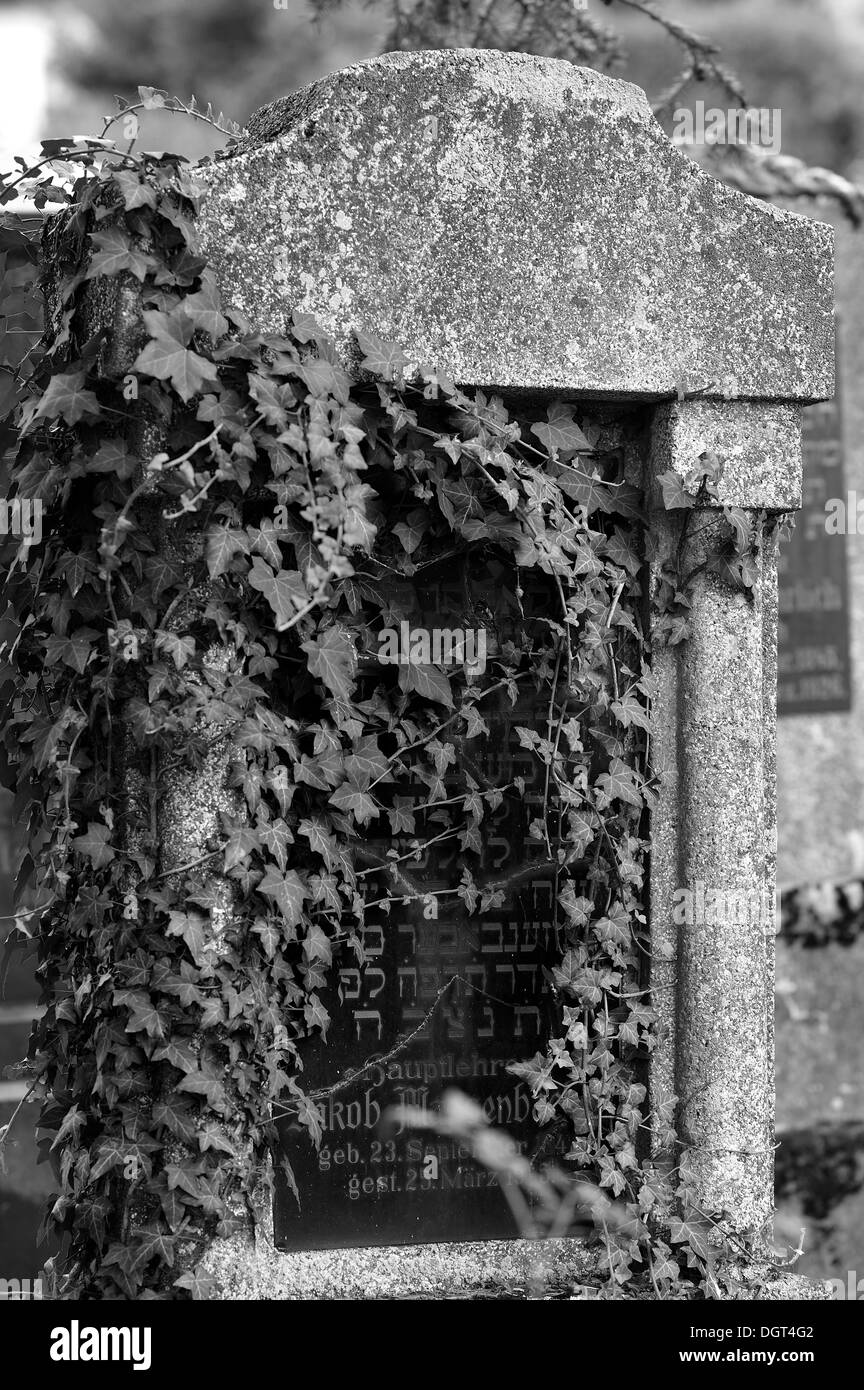 Headstone overgrown with ivy at the third Jewish cemetery of 1897, Schnaittach, Middle Franconia, Bavaria - Stock Image