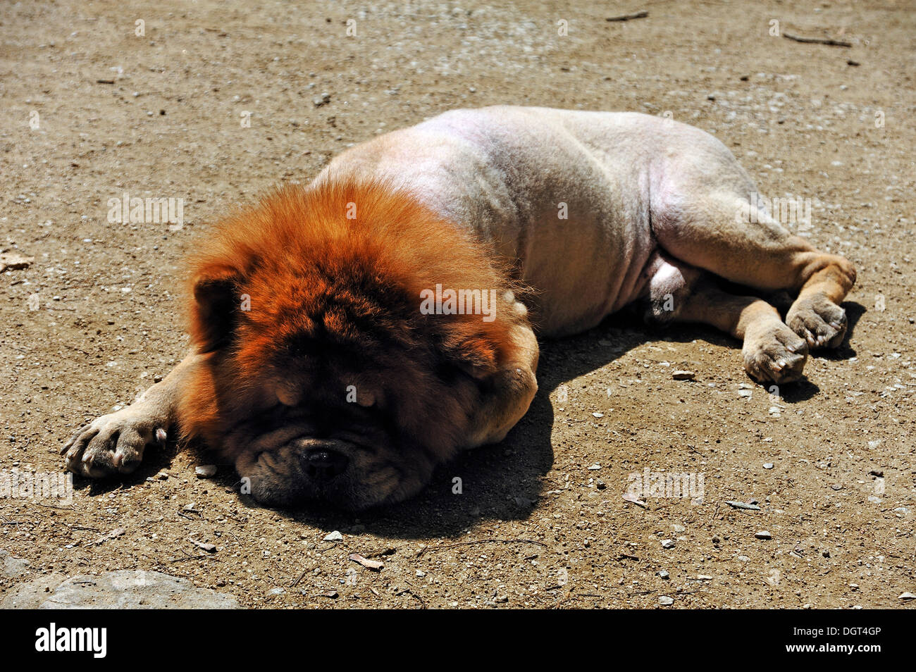 Clipped Chow-Chow sleeping on a dirt road in hot weather, castle gardens, Erlangen, Middle Franconia, Bavaria - Stock Image