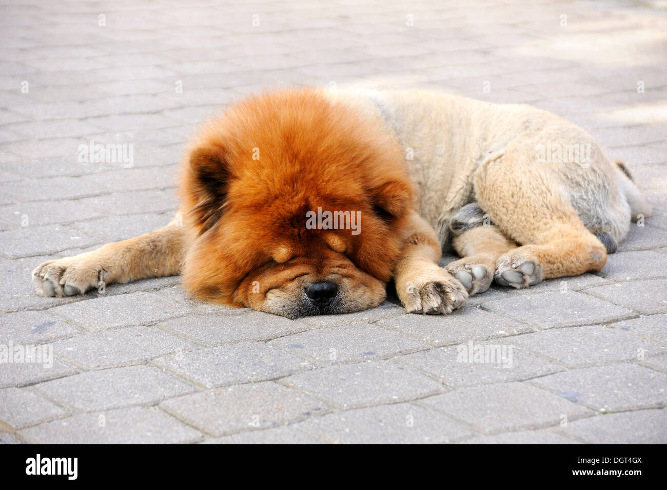 Clipped Chow-Chow sleeping on a pavement, in hot weather - Stock Image