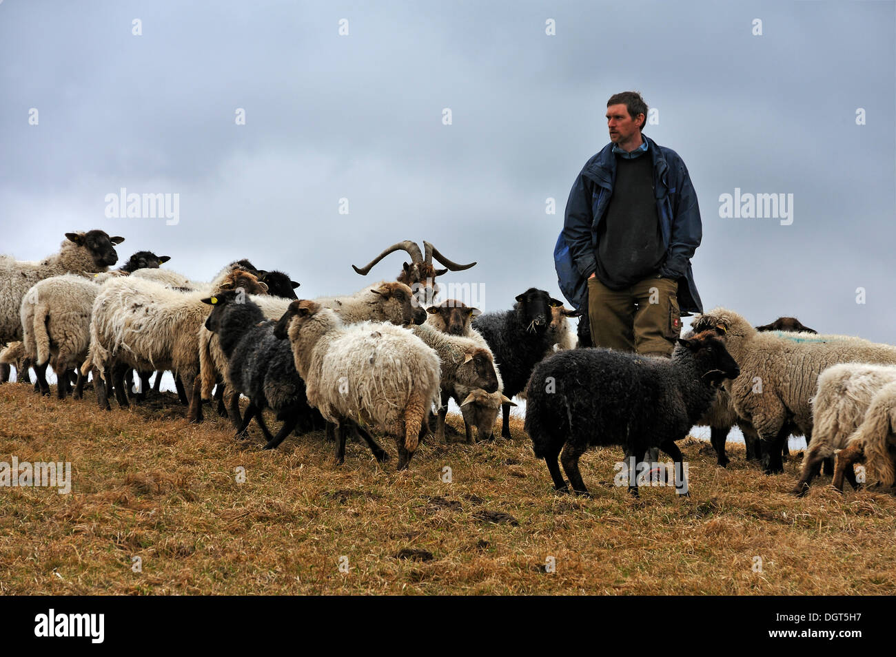 Young farmer looking after his sheep, one goat at centre, Kalkberg, Nesow, Mecklenburg-Western Pomerania, Germany - Stock Image
