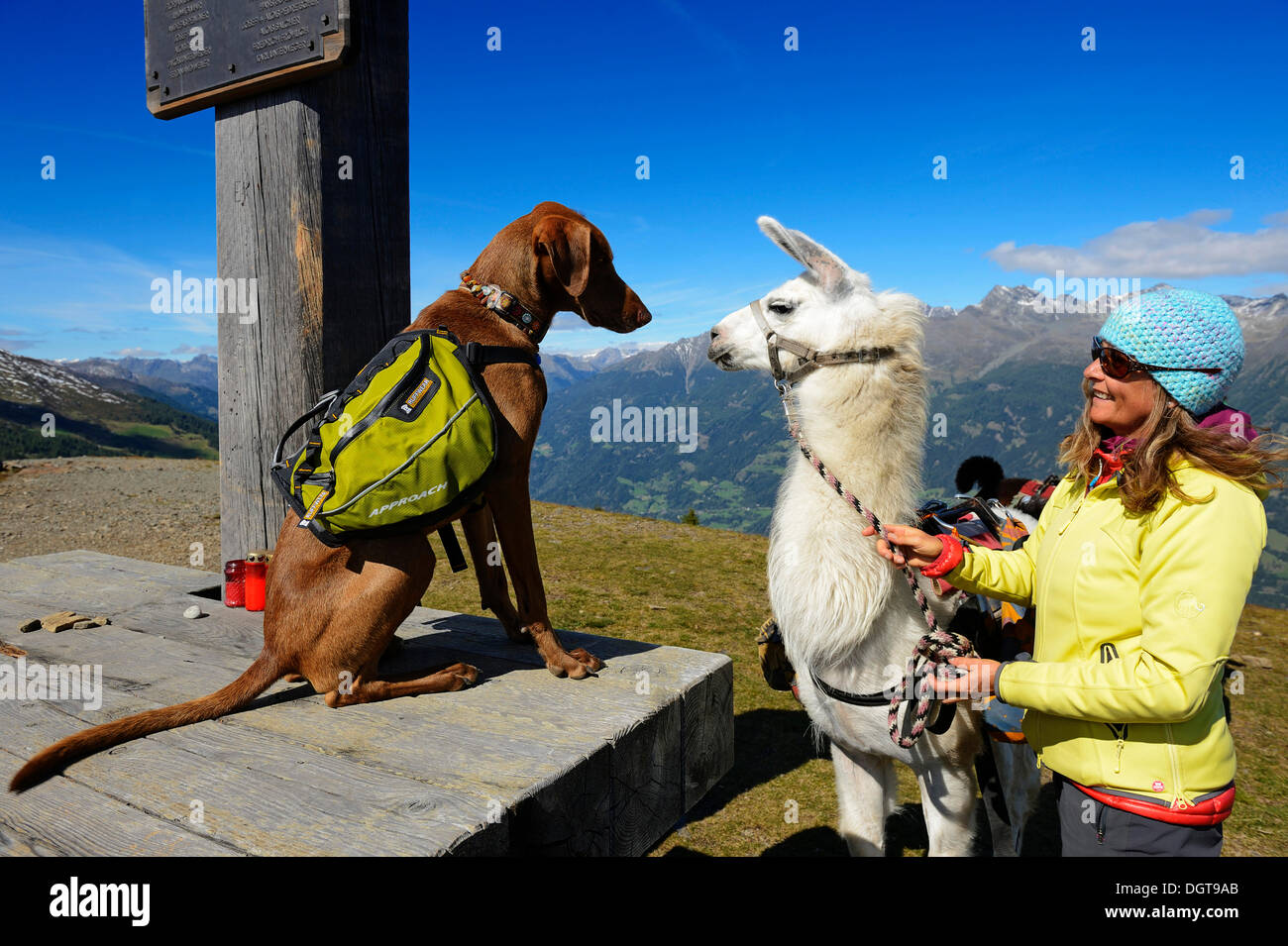 Female hiker with a llama and a dog, llama tour in the Defregger Group, Carnic Dolomites, Upper Lienz, Puster Valley, East Tyrol - Stock Image