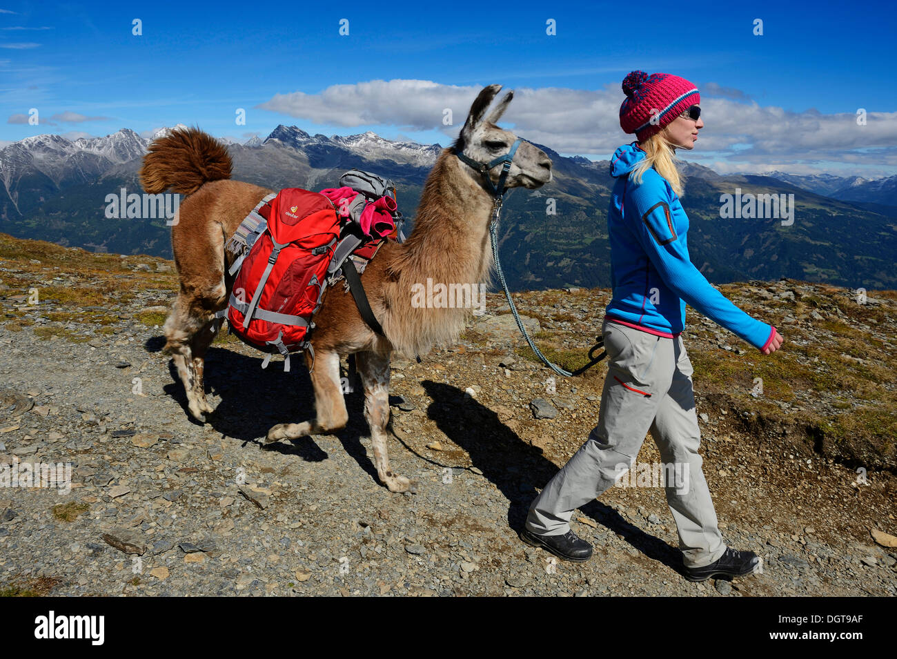 Llama tour at the summit of Boeses Weibele Mountain in the Defregger Group, Carnic Dolomites, Upper Lienz, Puster Valley - Stock Image